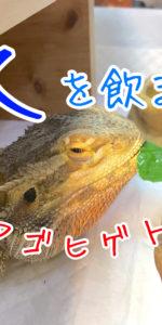 水を飲まないフトアゴヒゲトカゲにはどうすべき?