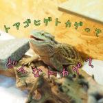 フトアゴヒゲトカゲの飼育について【特徴、生態などコレ見れば解決!】