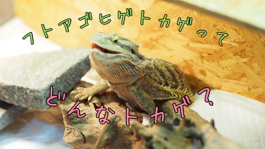 フトアゴヒゲトカゲについて【飼育、特徴、生態などコレ見れば解決!】