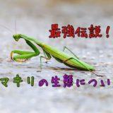 カマキリの生態について語る【カマキリ最強伝説!】