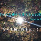 モミジを種から育てる日記③:シーズン2 今年もタネの採集完了!