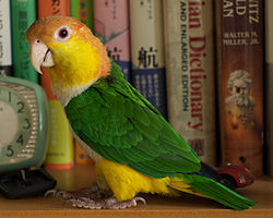 Pionites_leucogaster_-_pet_perching_near_books